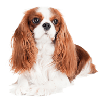Download Free png Breed: Cavalier King Charles Spaniel.