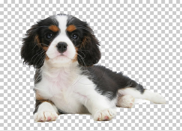 Cavalier King Charles Spaniel Puppy Cavachon Dog breed.