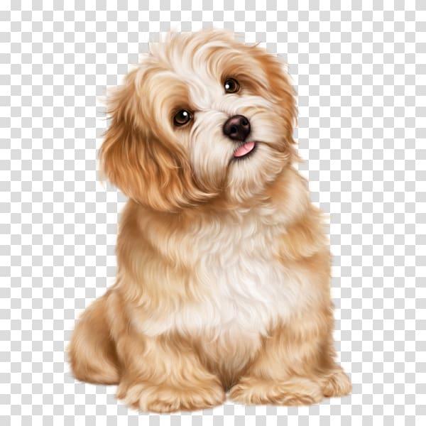 Cavachon Shih Tzu Puppy Havanese dog Bolognese dog.