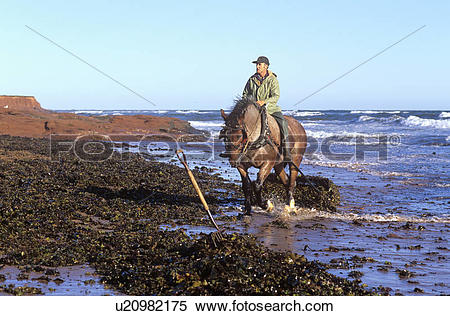 Stock Image of Harvesting, Irish Moss, Cavendish, Prince Edward.