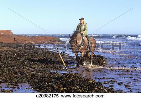 Stock Image of Harvesting, Irish Moss, Cavendish, Prince Edward.