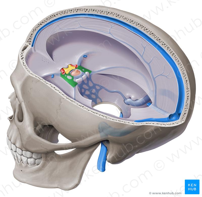 Cavernous sinus (Sinus cavernosus).
