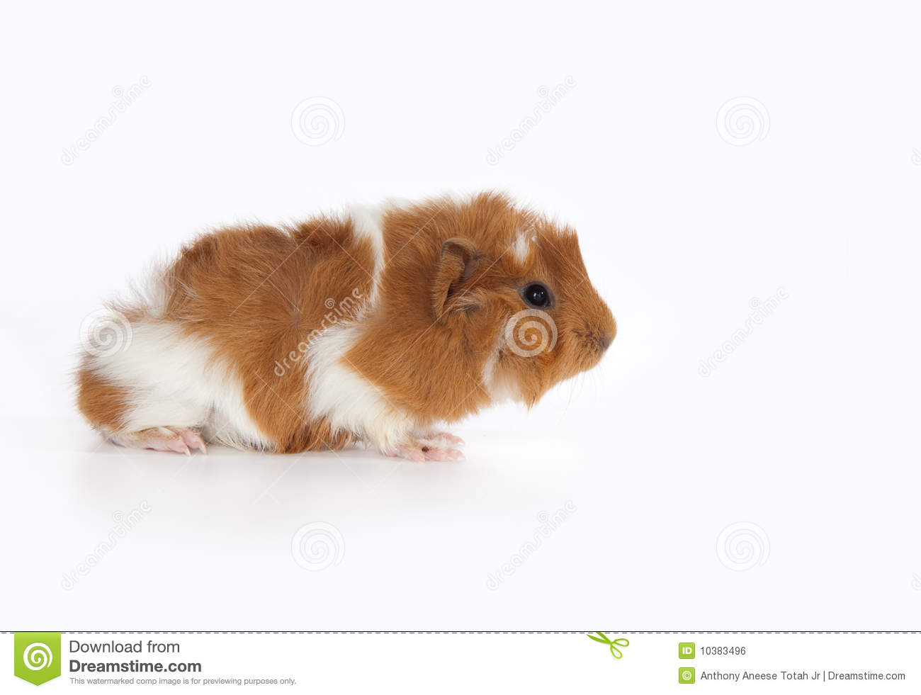 Abyssinian Guinea Pig (Cavia Porcellus) Royalty Free Stock Image.