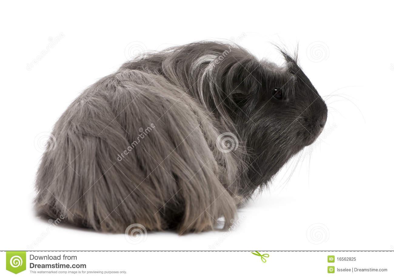 Peruvian Guinea Pig, Cavia Porcellus, Lying Royalty Free Stock.