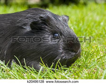 Pictures of Guinea pig (Cavia porcellus) k20495128.