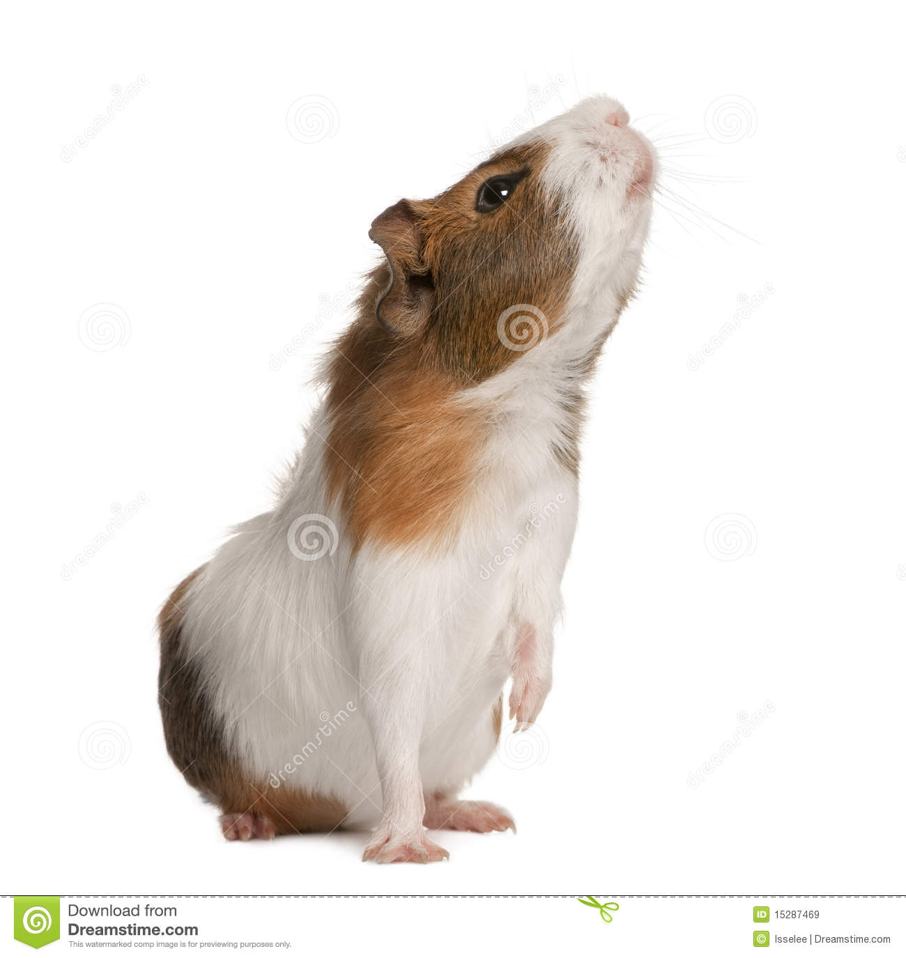 Guinea Pig, Cavia Porcellus, Sniffing Royalty Free Stock Images.