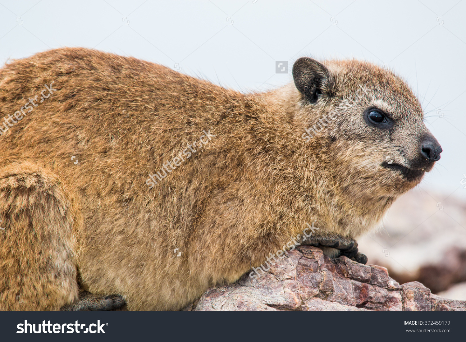 Rock Hyrax Is A Mammal Of The Family Procaviidae Stock Photo.