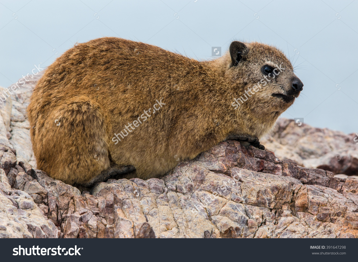 Rock Hyrax Mammal Family Procaviidae Stock Photo 391647298.