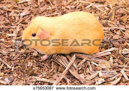 Picture of Guinea pig. Cavia porcellus. Caviidae x75653087.