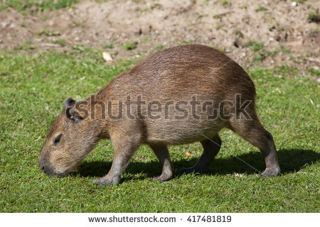 Caviidae Stock Photos, Royalty.