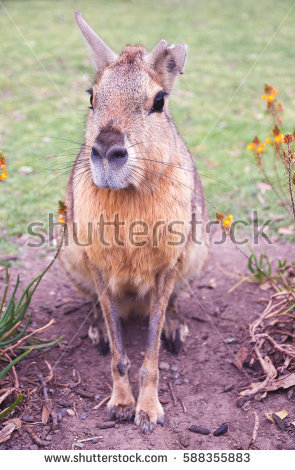 Cavy Stock Photos, Royalty.