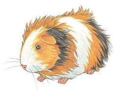 Free clipart guinea pig.