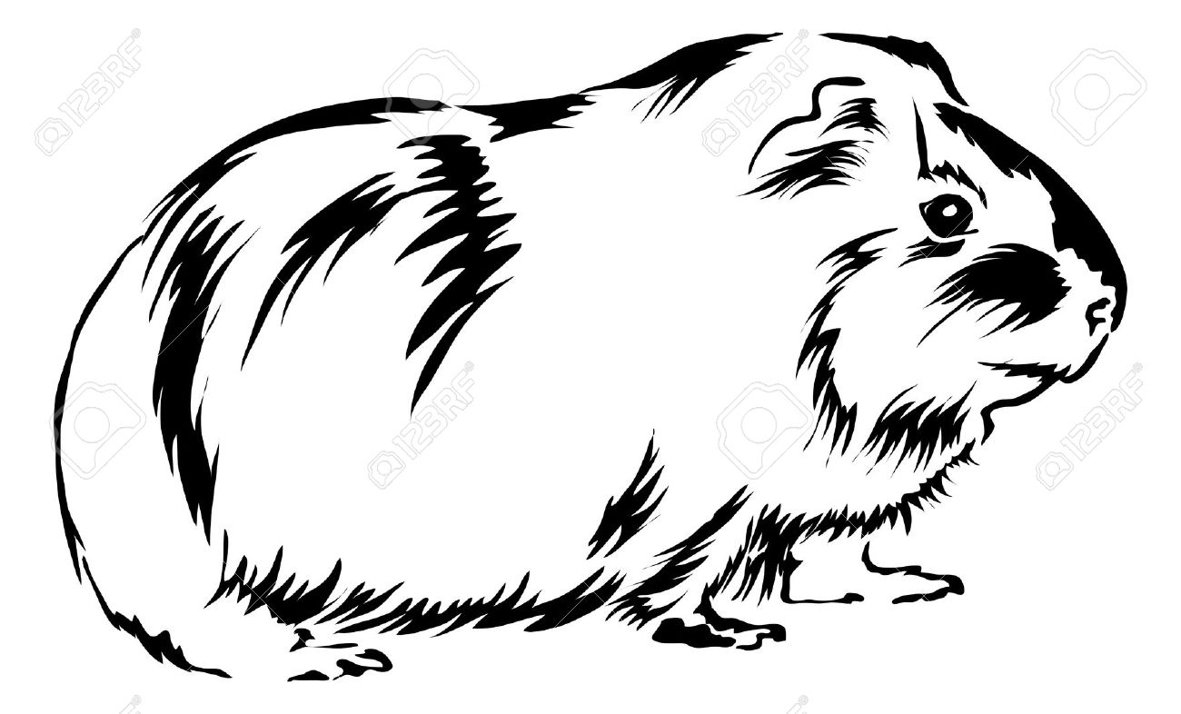free guinea pig coloring pages - cavy clipart clipground