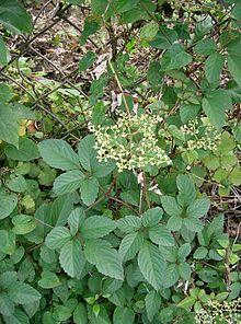 Cayratia japonica.