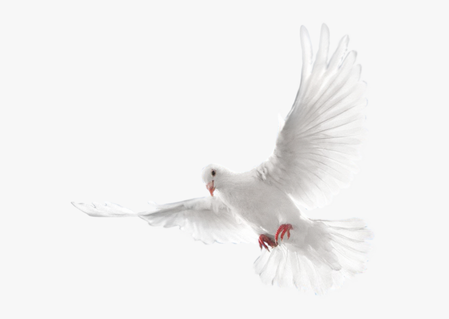 White Flying Pigeon Png Image, Download Png Image With.