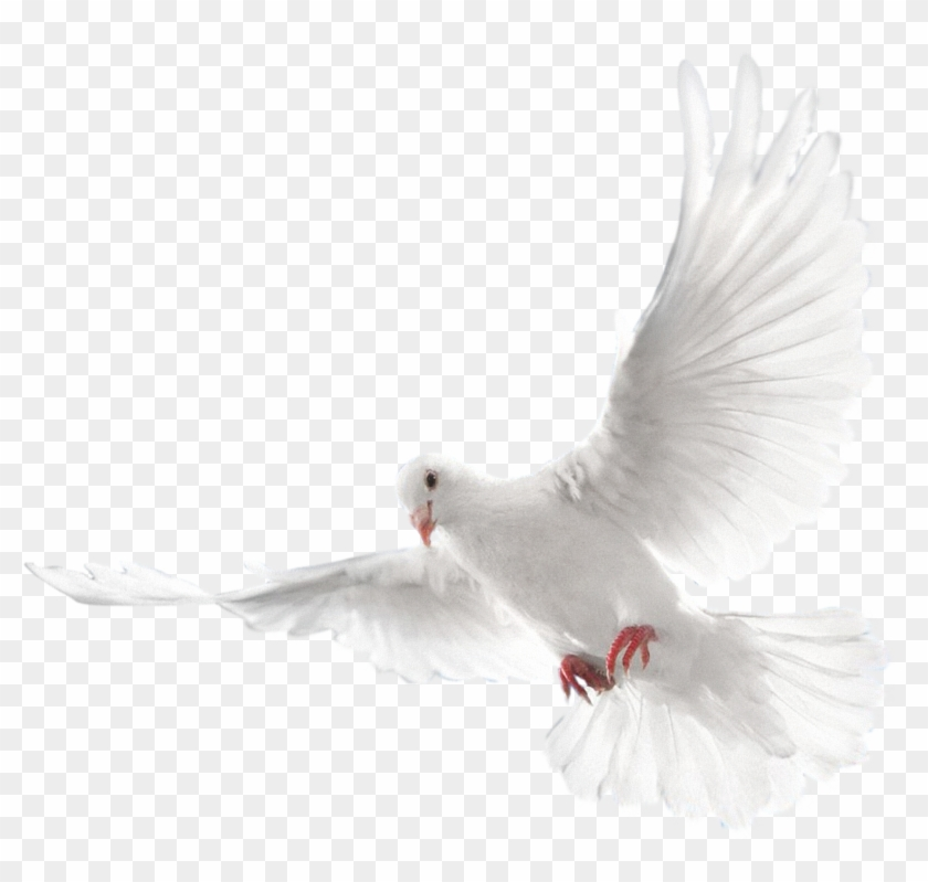 White Flying Pigeon Png Image.