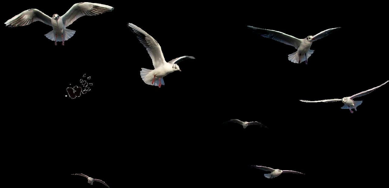 Flying Bird PNG Images Transparent Free Download.