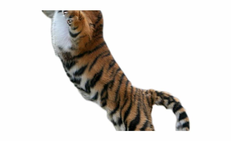 White Tiger Clipart Transparent Background.