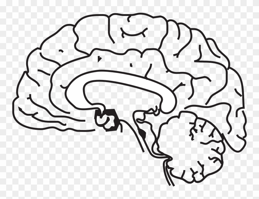 Brain Anatomy Coloring Page Brain Brain Anatomy.
