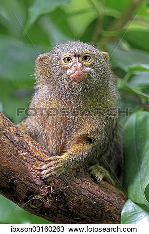 "Stock Photo of ""Pygmy Marmoset (Cebuella pygmaea), captive."