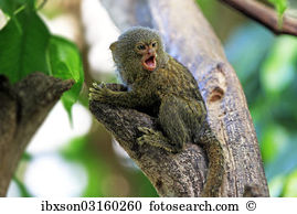 Marmoset Stock Photos and Images. 672 marmoset pictures and.