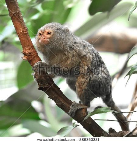 Pygmy Marmoset Cebuella Pygmaea Sitting On Stock Photo 352391642.