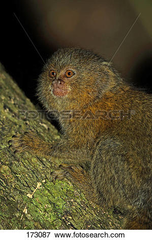 Picture of Pygmy Marmoset (Cebuella pygmaea), portrait of adult.