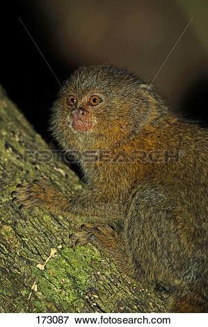 Picture of Pygmy Marmoset (Cebuella pygmaea), portrait of adult.