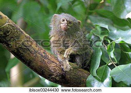 """Stock Photography of """"Pygmy Marmoset (Cebuella pygmaea) on a tree."""