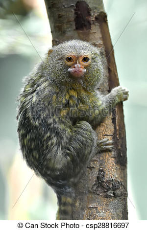 Stock Photographs of Pygmy marmoset (Cebuella pygmaea).