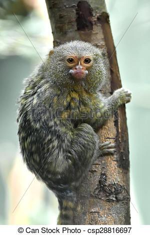 Stock Photographs of Pygmy marmoset (Cebuella pygmaea).