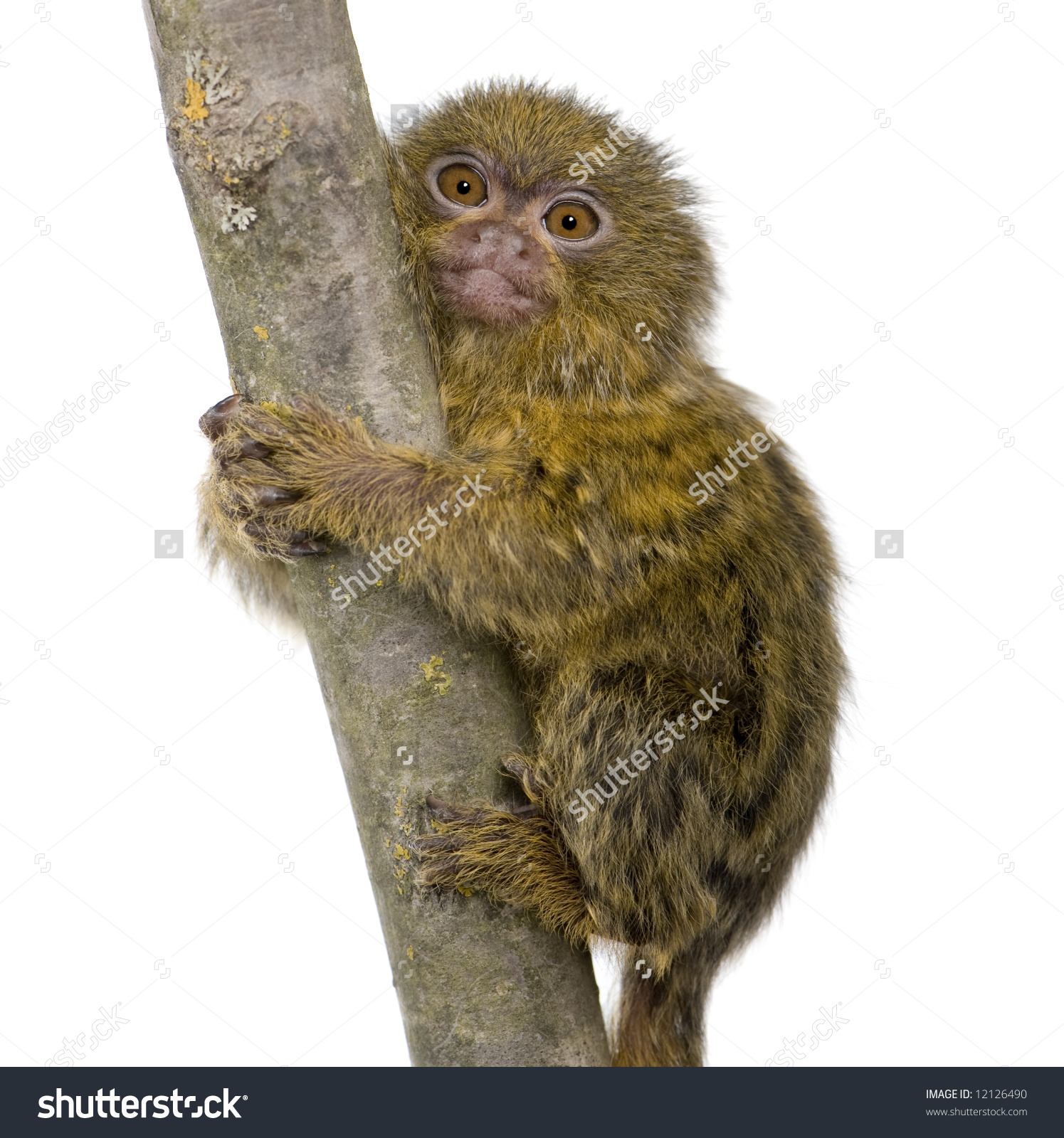 Pygmy Marmoset 5 Weeks Callithrix Cebuella Stock Photo 12126490.
