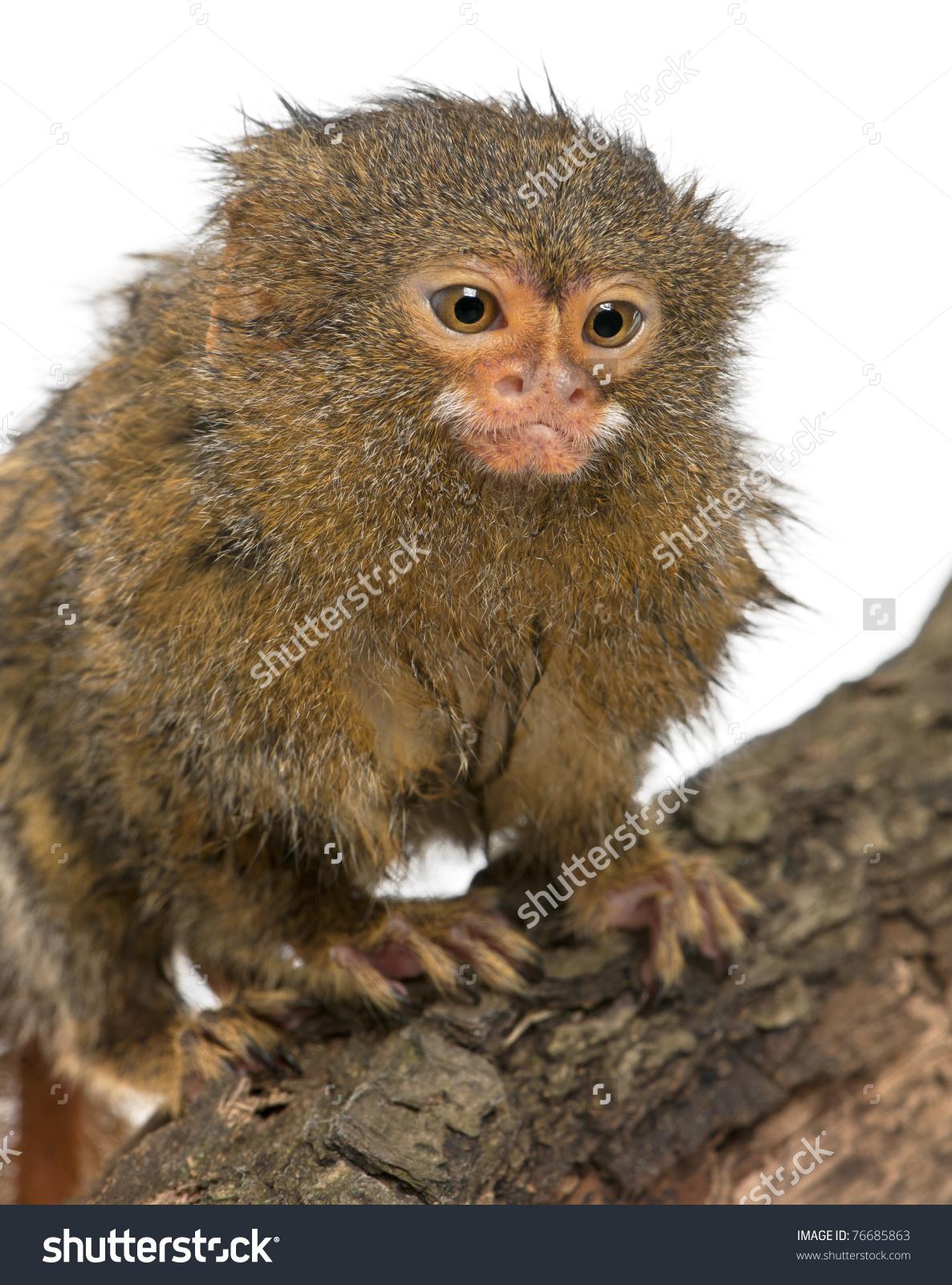 Pygmy Marmoset Dwarf Monkey Cebuella Pygmaea Stock Photo 76685863.