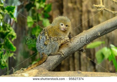 Cebuella Pygmaea ( The Smallest Monkeys In The World )On Tree.