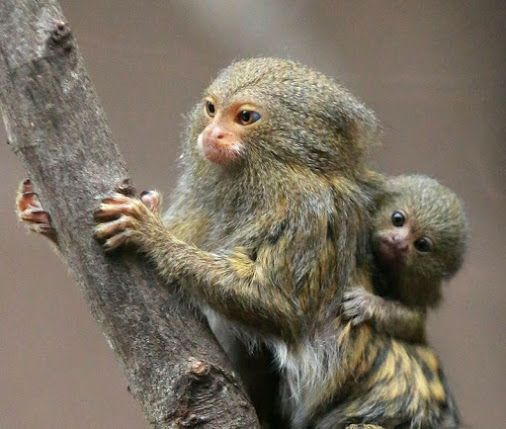 Pygmy marmosets (Cebuella pygmaea) are one of the smallest.
