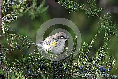 Bird With Berry In Beak Stock Photo.