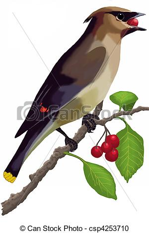 Stock Illustration of Cedar Waxwing eating a berry.