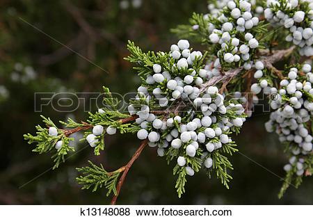 Pictures of Cedar Berries k13148088.