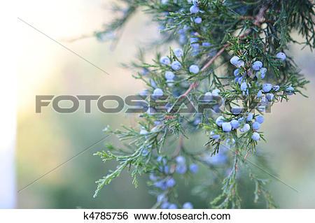 Stock Images of Cedar Berries k4785756.
