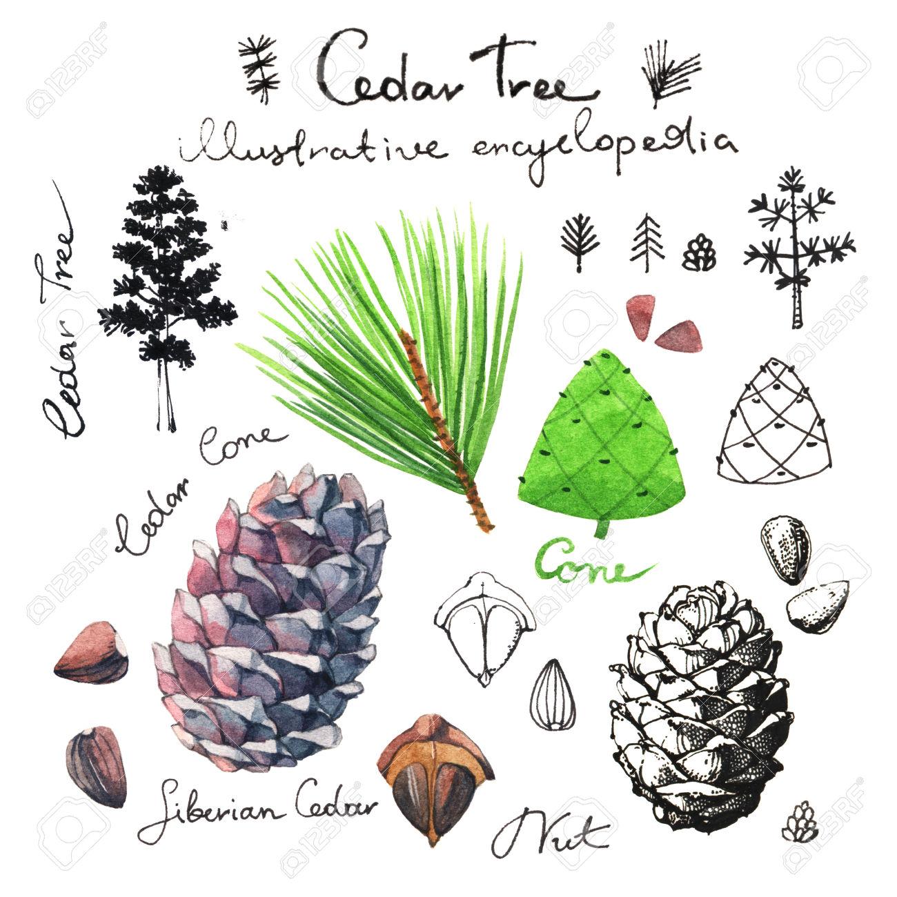 Cedar Tree Illustrative Clip Art Collection Of Cedar Cones And.