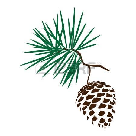 641 Cedar Cone Stock Vector Illustration And Royalty Free Cedar.