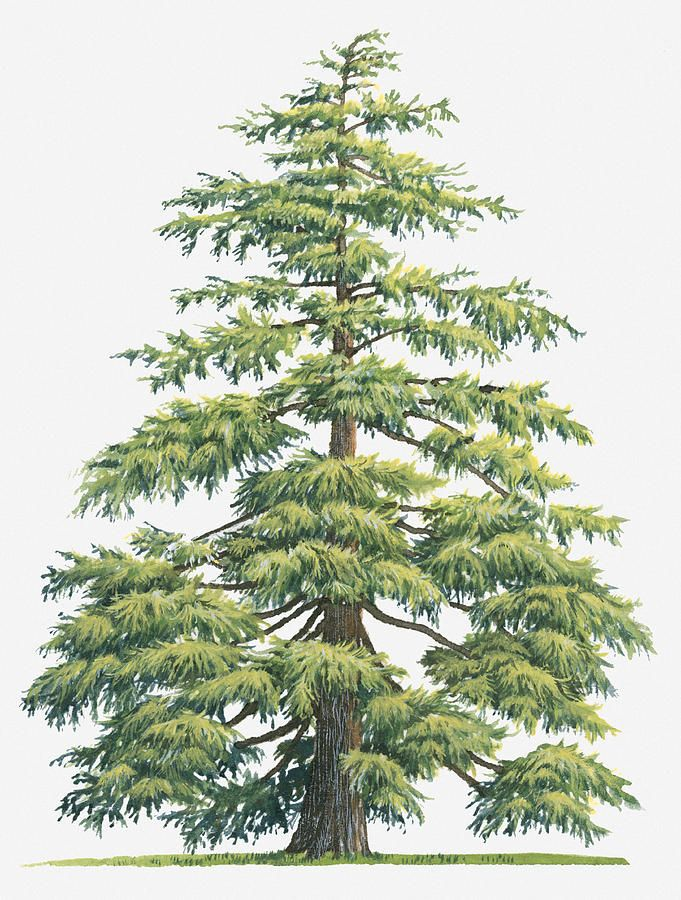 Cedar tree clipart in gold.
