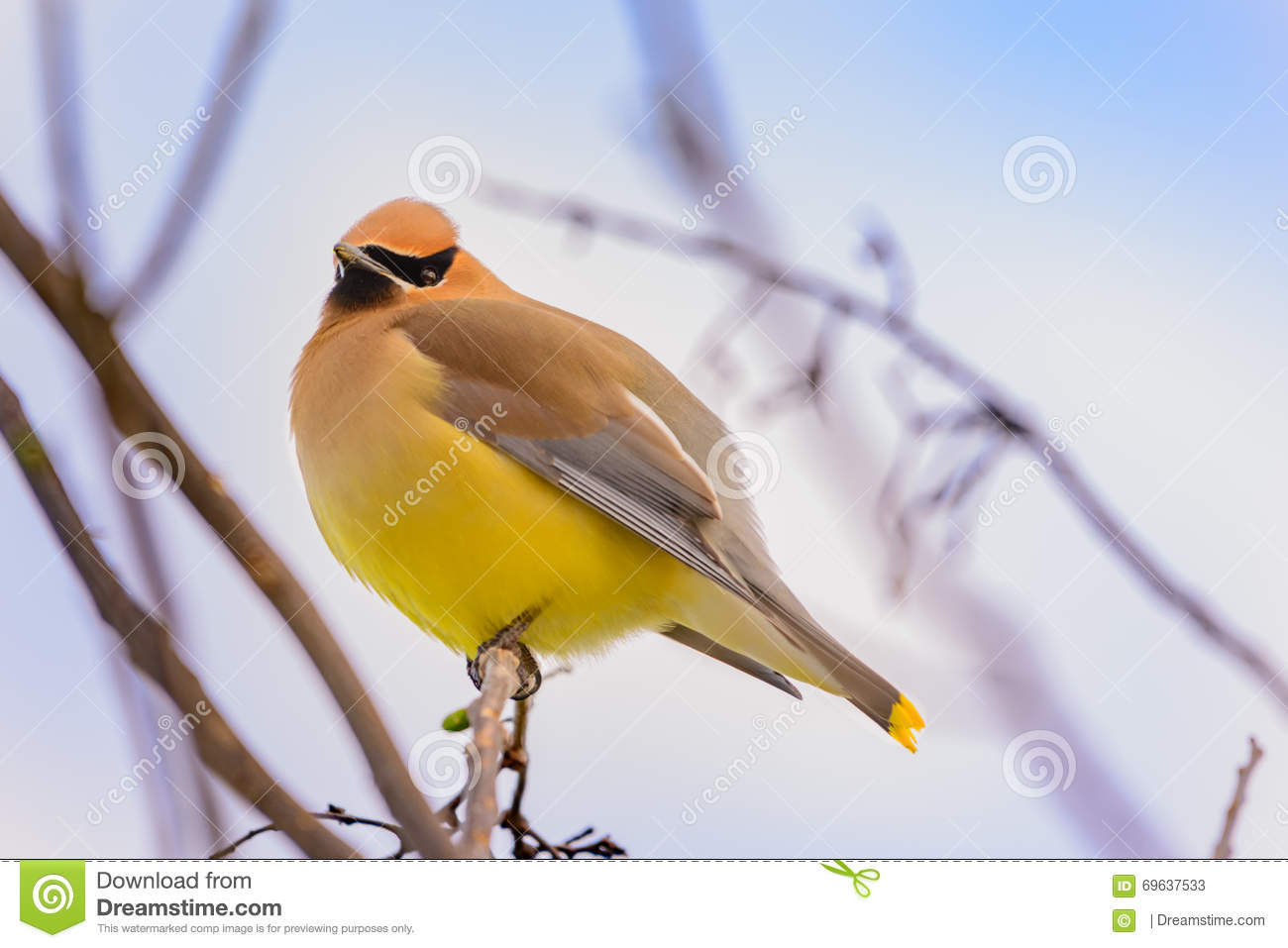 Cedar Waxwing Illustration Stock Vector.