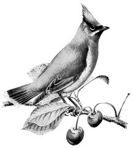 vintage bird clip art, cedar waxwing, black and white graphics.