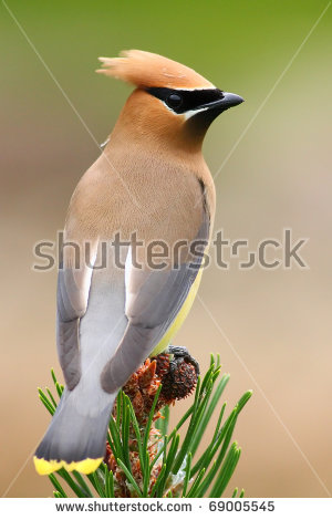 Cedar Waxwing Stock Photos, Royalty.