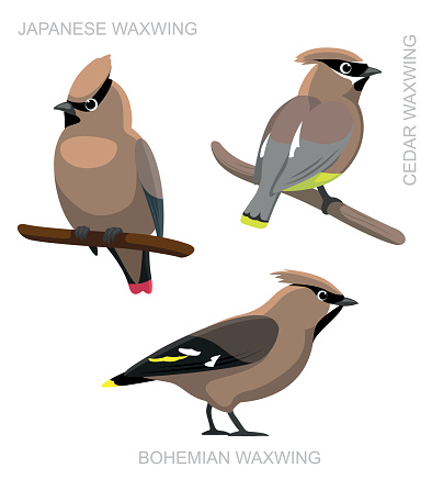 Cedar Waxwing Clip Art, Vector Images & Illustrations.