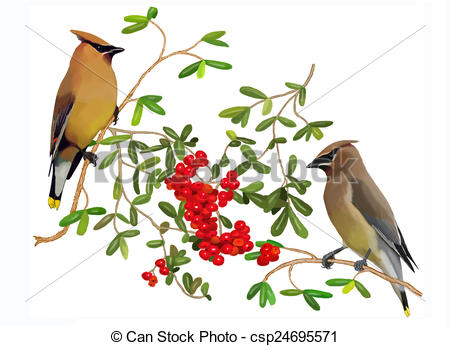 Stock Illustrations of Cedar Waxwings & Pyracantha 1.
