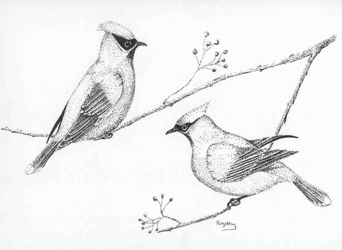 Origional Bird and wildlife Drawings by Susan Pugsley Metalis.