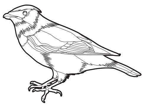 Cedar Waxwing Clip Art, Vector Images & Illustrations.