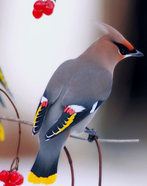We have these beautiful Cedar waxwing birds in our yard all the.